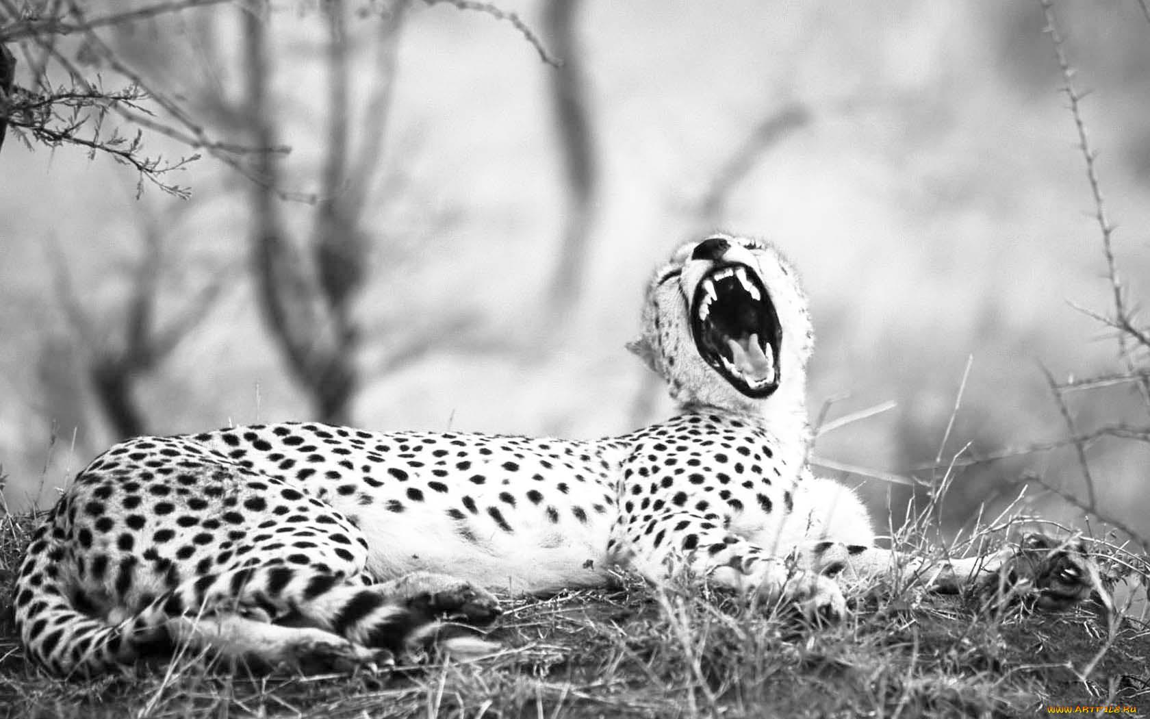 Картинки с гепардами черно белые